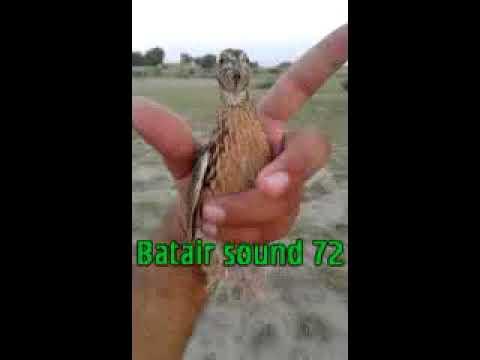 1 SUBAH BATTAIR QUAIL SOUND