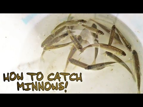 HOW TO CATCH MINNOWS!