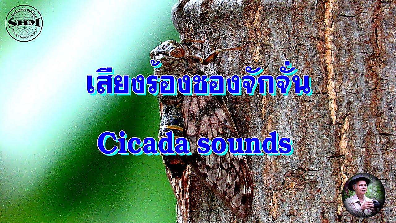 เสียงร้องชองจักจั่น Cicada sounds