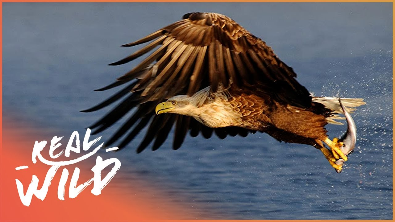 An Eagle's Journey: Queen Of The Sky | 4K Wildlife Documentary | Real Wild