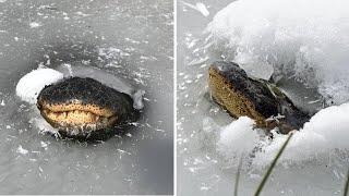 Alligatoren frieren im Eis ein – nur noch ihre Mäuler schauen aus dem Wasser