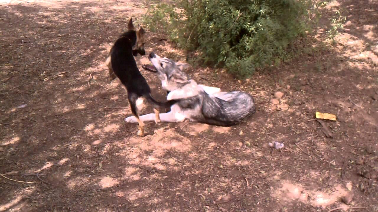 German Shepherd Puppy vs Wolf Hybrid - YouTube