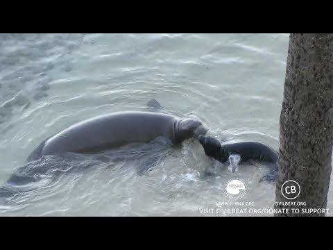 Hawaiian Monk Seal Pup Cam Kaimana Beach