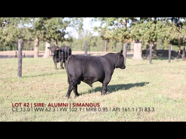 Edgewood Angus Lot 42