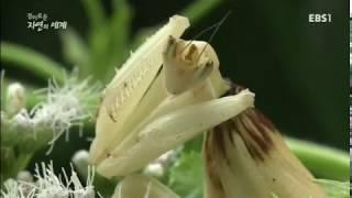 EBS 경이로운 자연의 세계,  위험한 흉내쟁이 꽃사마귀