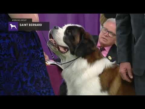 St.Bernards | Breed Judging 2019