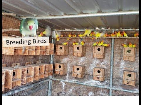 Breeding room opaline Fischer lovebirds