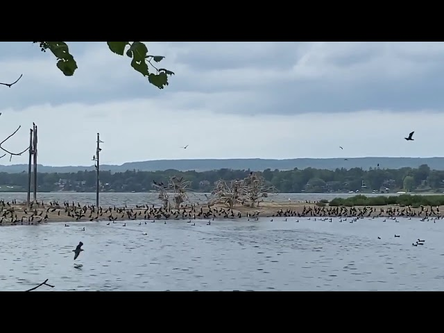 Vibrant cormorant colony in Ontario
