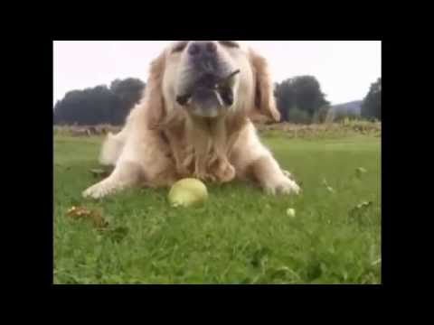 Dog eat pears - A FUNNY DOG