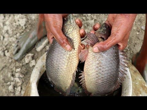 Big Climbing Perch Fish Catching  & Lots Of Catfish Silver Carp Fishing Video
