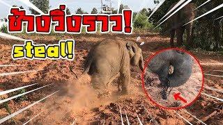 วุ่น! ปล่อยดาวสู่ป่า โดนดาวขโมยโซ่! วิ่งแจ้น baby elephant thumbnail
