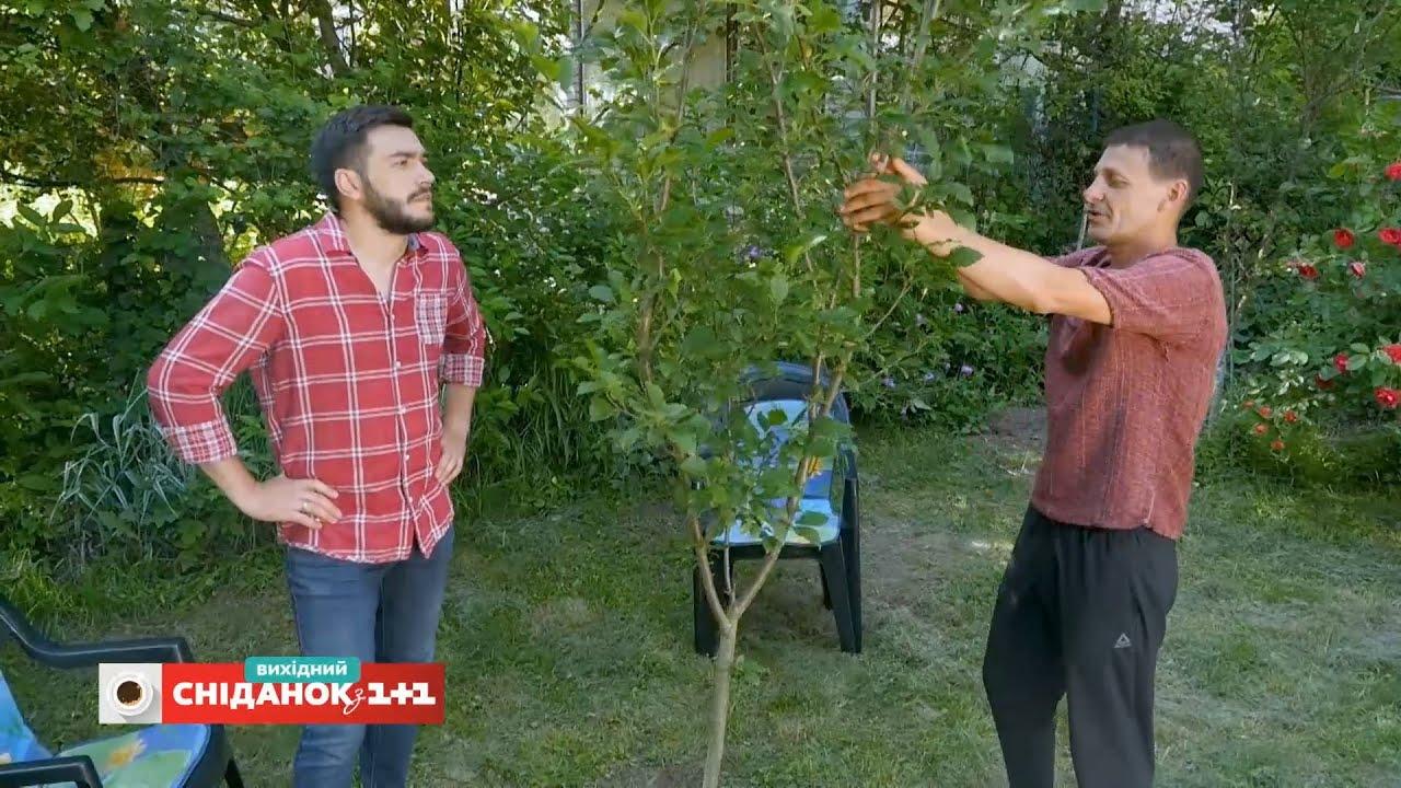 Як сформувати правильну крону дерев – Сніданок на дачі