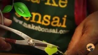 02) Ficus Bonsai Trees Care - Bonsai Trees for Beginners Series मार्क बोन्साई