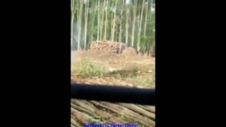 Download Video Harimau Nyaris Menerkam Pria Pegang Chainshaw di Sorek Riau MP3 3GP MP4