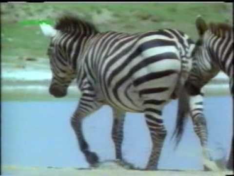 Zebra Mating Youtube