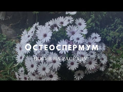 Остеоспермум-нежный африканский цветок!