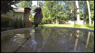 Gopro Birds Drinking From Fountain, Your Cat Will Love This!