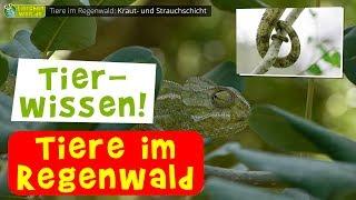 Tapir, Okapi, Nasenbar & Co. - Tiere im Regenwald