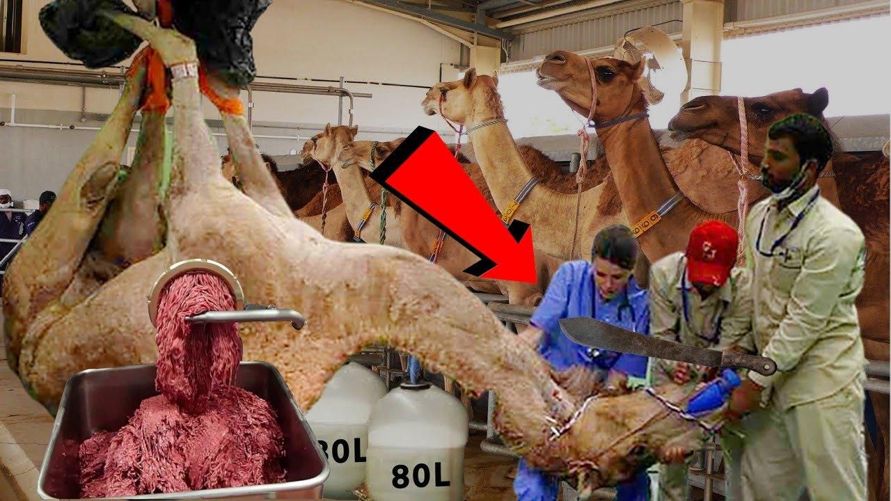 ✅ देखिए फैक्ट्री में किस तरह काटा जाता है ऊंट का मांस  Meat Factory