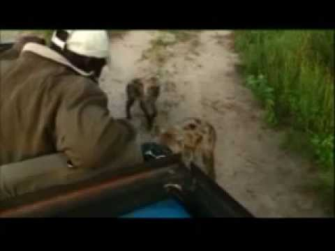 Kruger Sightings - Naughty Hyenas