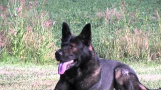 Protection Dogs Ccpd -  German Shepherd Stud Dog Gandhi