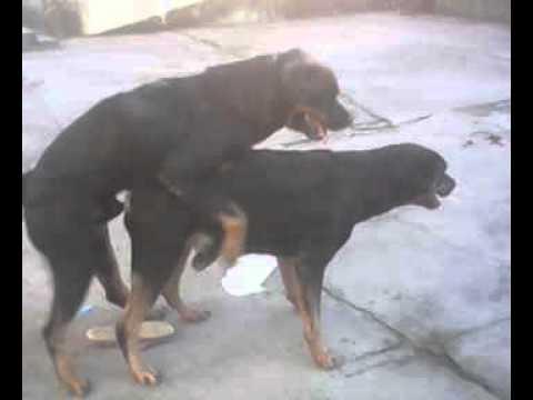 Dog Group - 25/06/2013 - Layon & Cheetara brincando - Part.2 [Cheetara no Cio]
