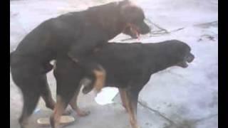 Download Dog Group - 25/06/2013 - Layon & Cheetara brincando - Part.2 [Cheetara no Cio] Mp3 and Videos