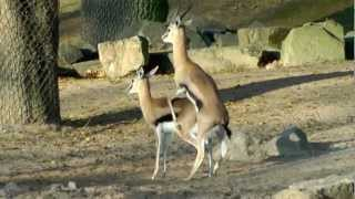 Repeat youtube video Thomson-Gazelle Paarungsversuche