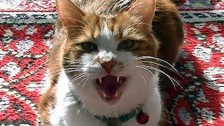 大笑い!猫と飼い主がビビって逃げる動画 幽霊なんていません!飼い主を待たず我先に逃げる猫♥♥猫との会話を楽しむ動画 Conversation with a talking cat thumbnail