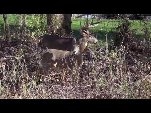 White Tail Deer Mating