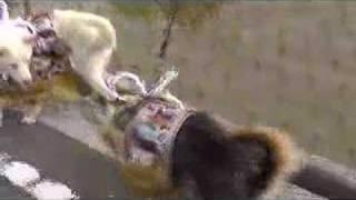ミニに土佐犬の格好をさせてみました。