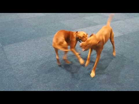 Hungarian vizsla plays with her father for the first time. World dog show 2017