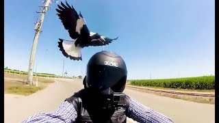 Coole Videos #371: Angriff der Elster / Magpie attack || ✪ Stern DuTube