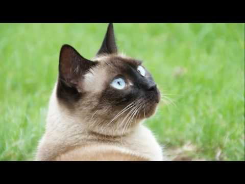 Siamese cat.  History of breed