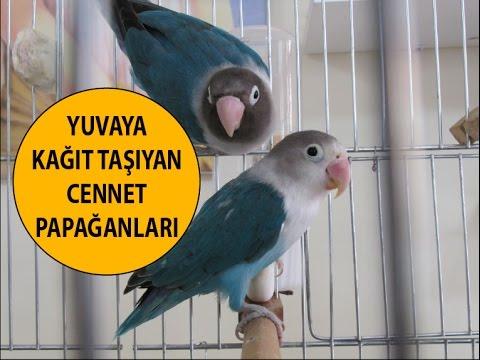 Cennet Papağanı Yuva Yapıyor