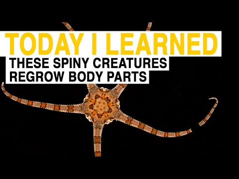 TIL: These Spiny Sea Creatures Can Regrow Lost Body Parts | Today I Learned