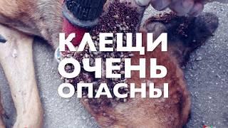 Клещи у собак и как вытащить клеща | Чихуахуа Софи