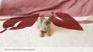 Бурманские котята. Помет М...