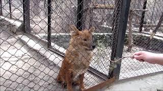 Красный волк играет с веточкой 03.05.18