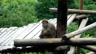 2011年6月12日撮影 手を叩いて餌をねだるヤクニホンザル.