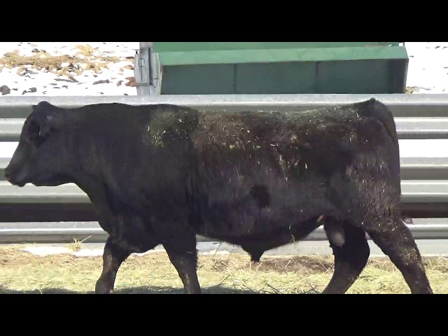 Connealy Angus Lot 446