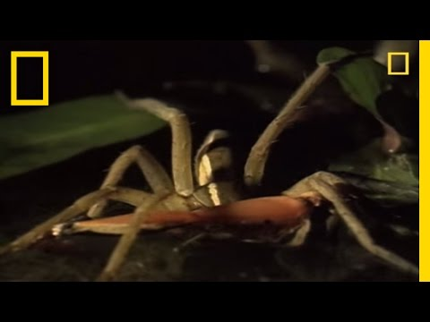 Fishing spider hunts tadpole and fish (#438) from YouTube · Duration:  1 minutes 40 seconds  · 4.000+ views · uploaded on 06.07.2011 · uploaded by nature1upclose