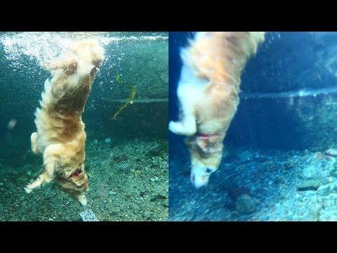 Golden Retrievers 🐶 Cute And Funny Golden Retriever Videos Compilation #1 🔴 Adorable Pets