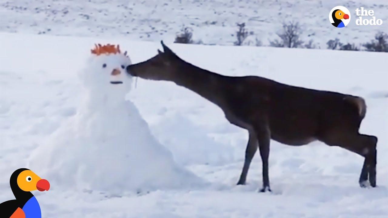 Deer Meets Snowman And Devours Him