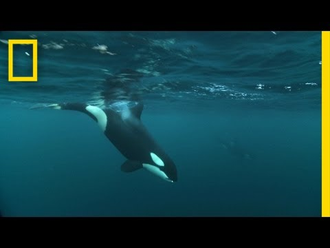Watch Killer Whales and Humpbacks Hunt Together | National Geographic