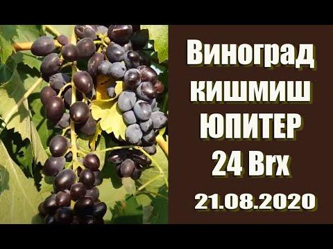 Виноград кишмиш Юпитер 24 Brx!!!!! Jupiter seedless (кишмиш Юпитер) - бессемянный сорт винограда.