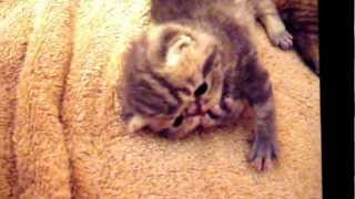 Max the Cute Exotic Shorthaired Male of Ziakatz is 2 weeks old