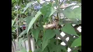 先週位から、咲き始めましたよ。 我が家の庭の、タイタンビカス。 (大...