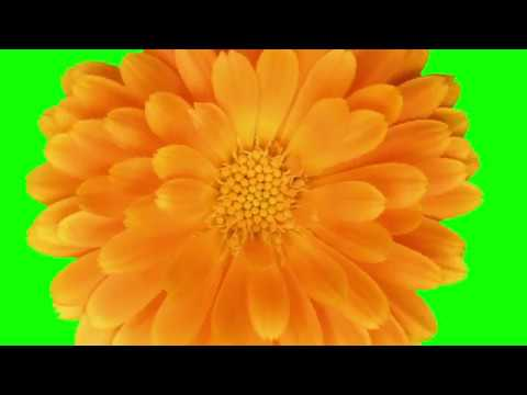 Green Screen Flowers Effects and Transitions thumbnail