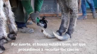 RESCATE DE JASMINE, LA BURRITA DE LOS CASCOS SOBRECRECIDOS